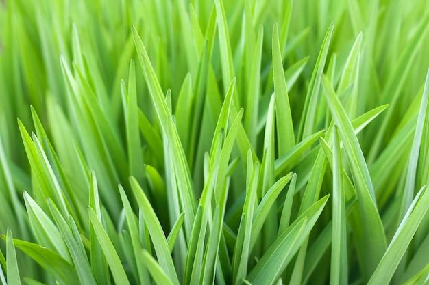 Grama verde fundo natural bonito