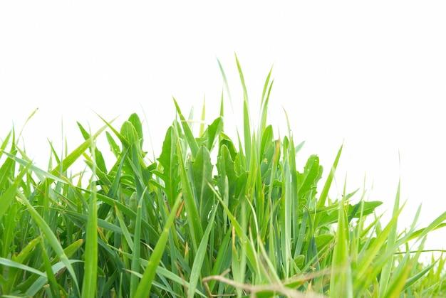 Grama verde isolada