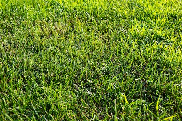 Grama verde luxuriante na textura do gramado