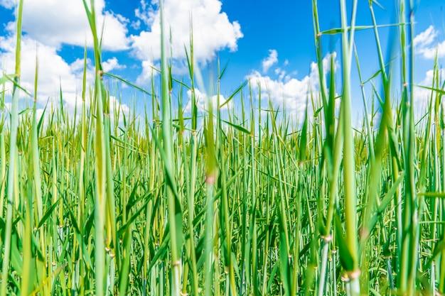 Grama verde no prado, céu azul. papel de parede