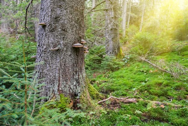 Grama verde sob grandes árvores na floresta com luz do sol
