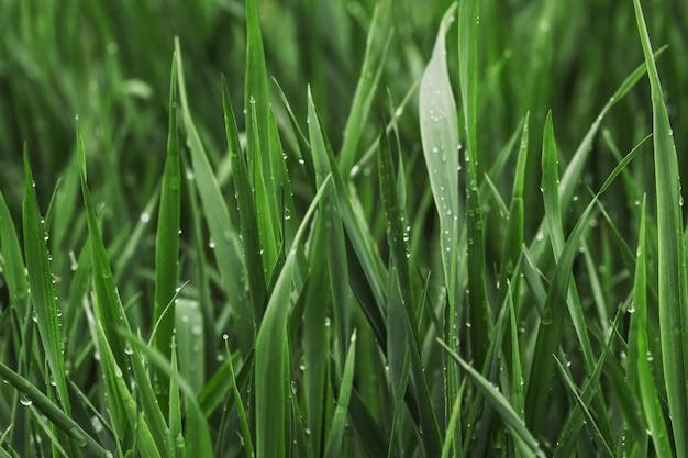 Grama verde verão coberta com orvalho puro