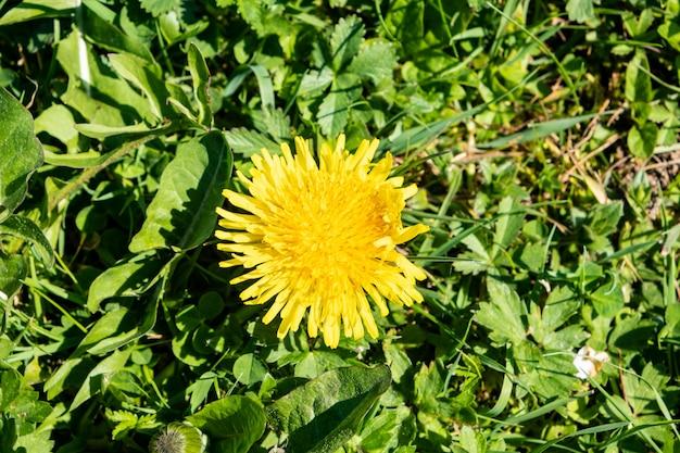 Gramado verde primavera com flores-leão e margaridas