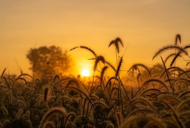 Grame a flor na manhã no nascer do sol com luz do sol dourada. campo de flores em rural.