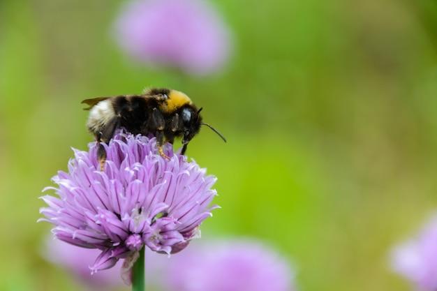 Grande abelha fofa bombus terrestris close-up. fundo com uma flor roxa de