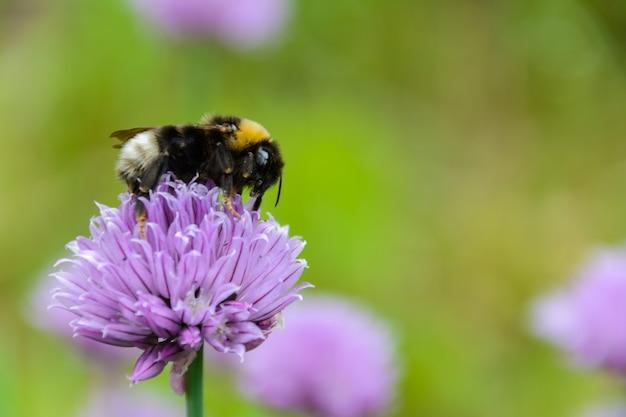 Grande abelha fofa (bombus terrestris) close-up. fundo com uma flor roxa polinizadora de abelha