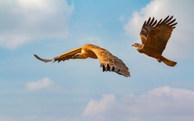 Grande abutre marrom e uma águia em voo