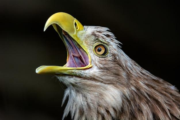 Grande águia de cauda branca, retrato de um pássaro