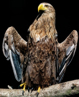 Grande águia de cauda branca, retrato de um pássaro Foto Premium
