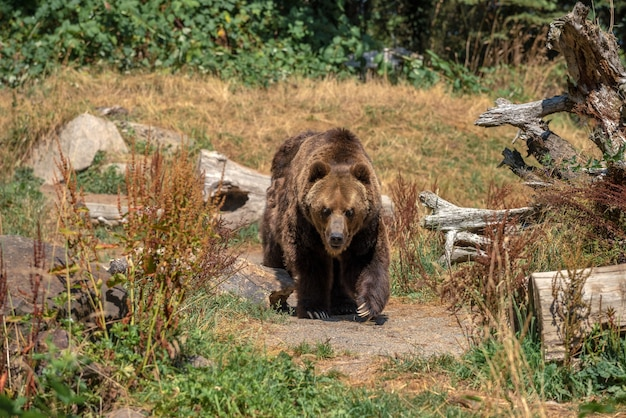 Grande ameaça de urso pardo