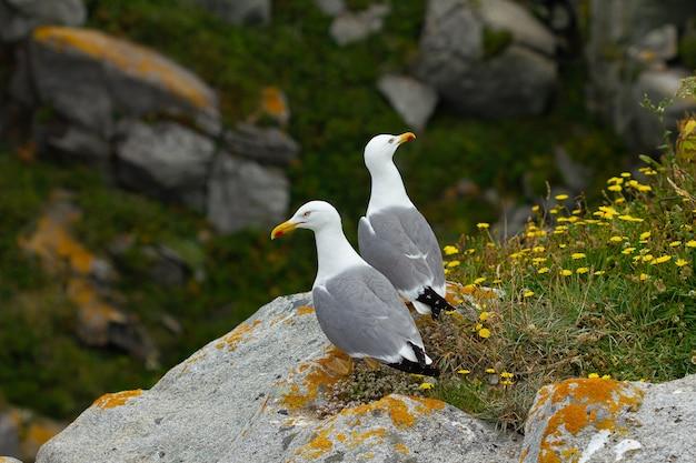 Grande ângulo de duas gaivotas de patas amarelas em uma rocha com flores silvestres amarelas
