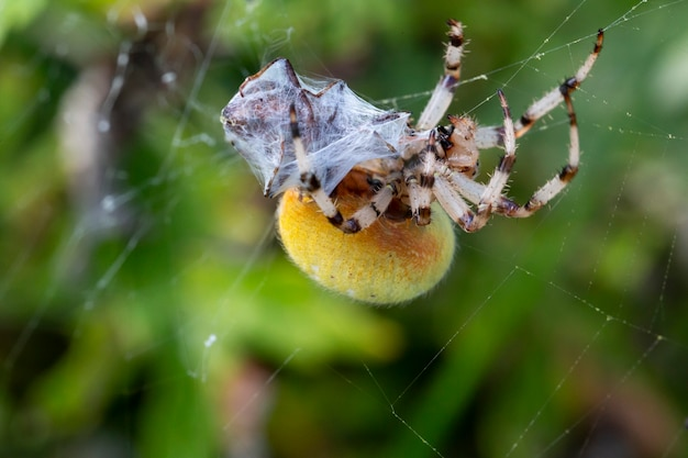 Grande aranha amarela na teia come sua presa. aranyella é um gênero de aranhas tecelãs da família araneidae.