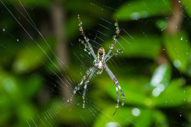 Grande aranha na teia com gotas de orvalho.