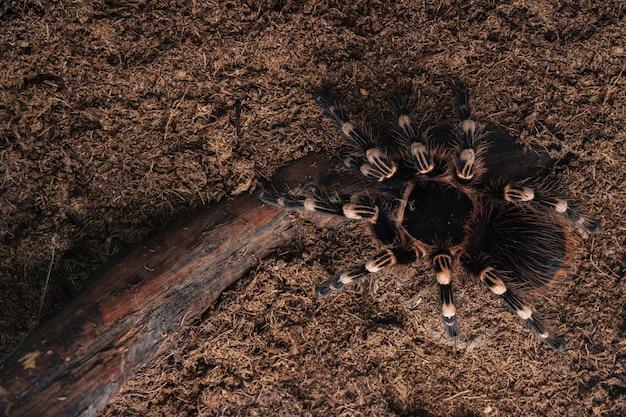 Grande aranha tarântula em uma superfície de terra.