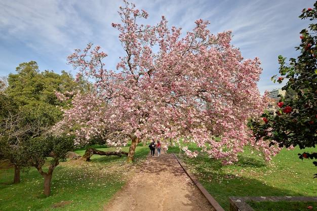 Grande árvore cheia de flores, conhecida como árvore de magnólia chinesa em um caminho do parque.