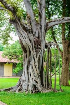 Grande árvore de banyan