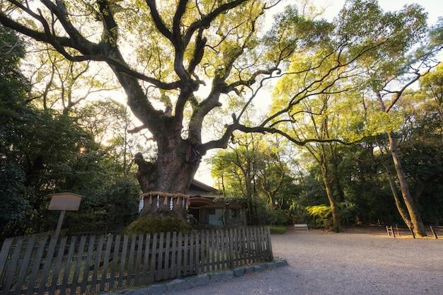 Grande árvore no santuário de atsuta jingu, nagoya