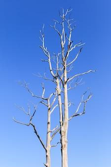 Grande árvore sem folhas no fundo do céu azul
