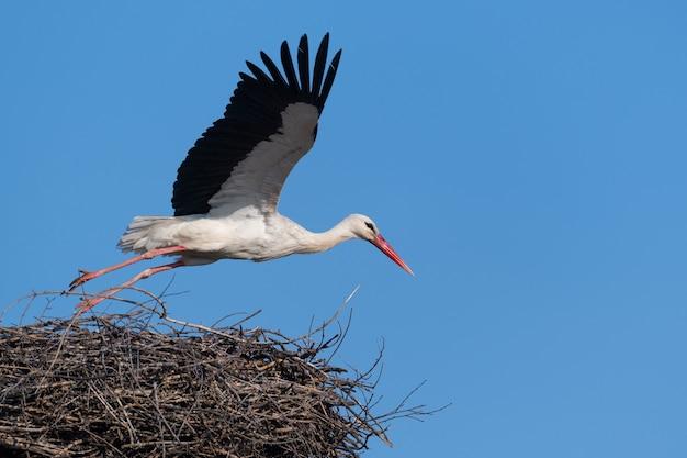 Grande ave da cegonha-branca da família ciconiidae em ninho na primavera