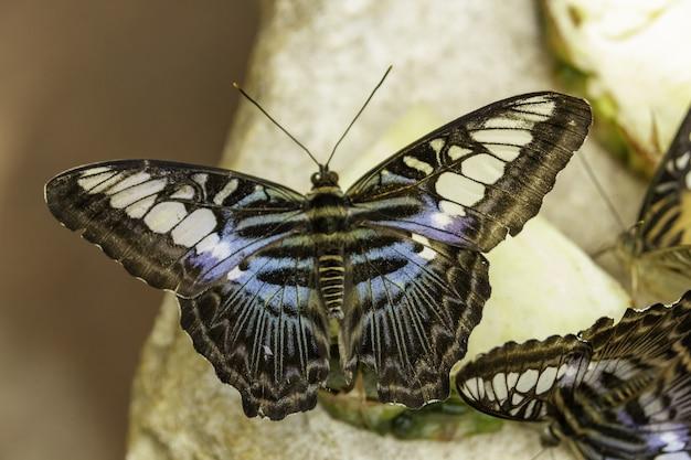 Grande borboleta com asas pretas azuis e brancas sentada em uma pedra