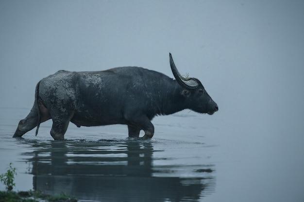 Grande búfalo de água selvagem no parque nacional de kaziranga, na índia