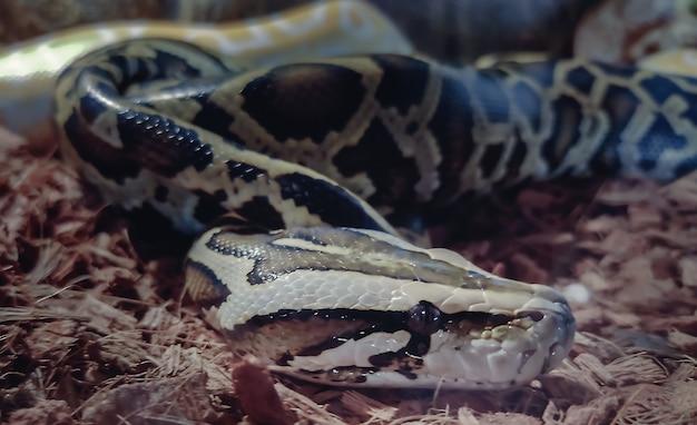 Grande cabeça de cobra cinza-escura de perto no terrário
