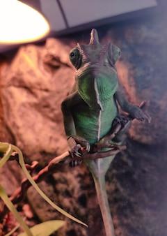 Grande camaleão verde atrás de um vidro parece de perto
