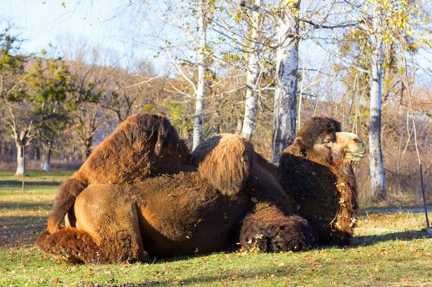 Grande camelo bactriano no fundo de bétula no parque outono