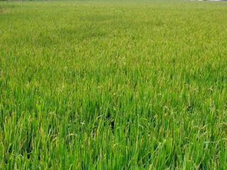 Grande campo de arroz chinês