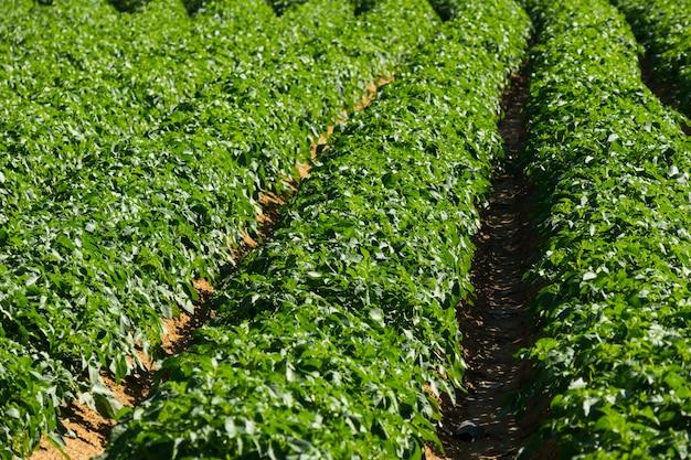 Grande campo de batata com plantas de batata plantadas em fileiras direitas