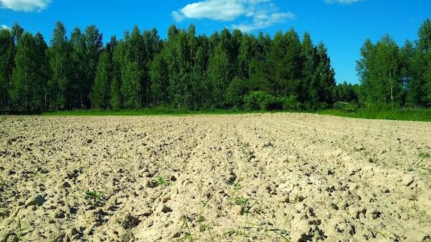 Grande campo de batata na orla da floresta