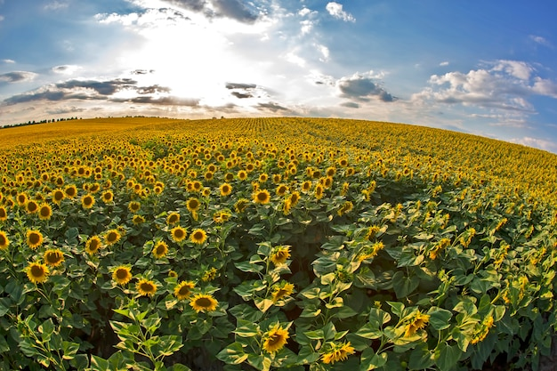 Grande campo de girassóis em flor, tendo como pano de fundo um céu ensolarado e nublado