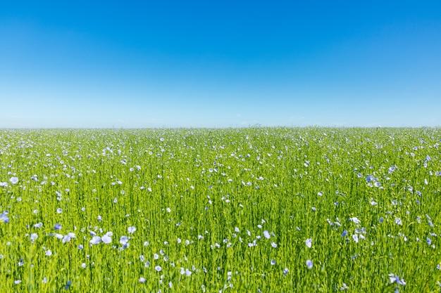 Grande campo de linho em flor na primavera