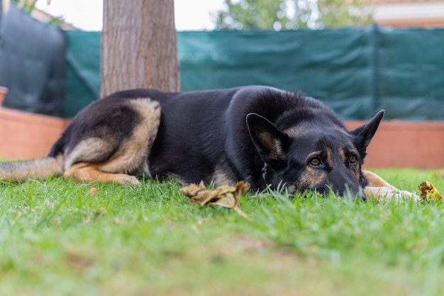 Grande cão preto descansando na grama
