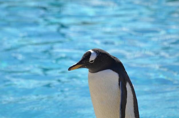 Grande captura de um pinguim gentoo em frente a um corpo de água.