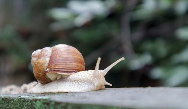 Grande caracol de jardim rastejante com uma concha listrada. um grande molusco branco com uma concha marrom listrada. dia de verão no jardim. borgonha, caracol romano com fundo desfocado. helix promatia.