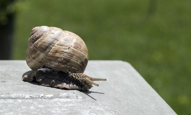 Grande caracol no shell rastejando na estrada, dia de verão no jardim