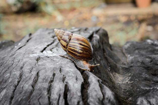 Grande caracol no shell rastejando na madeira