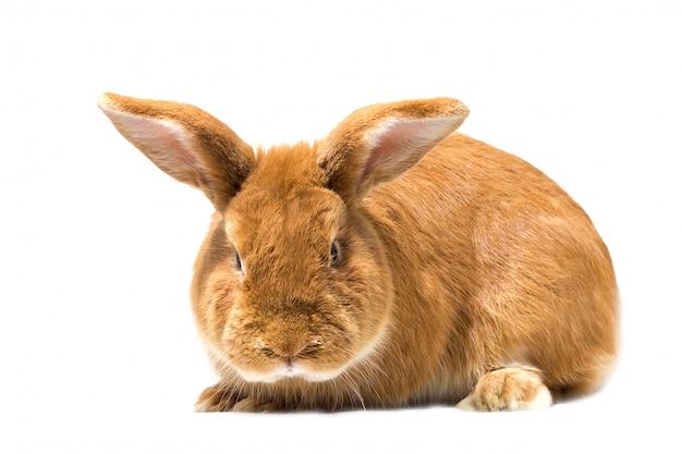Grande coelho vermelho, isolado, coelho de páscoa
