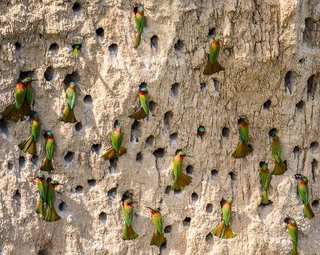 Grande colônia de abelharucos em suas tocas em uma parede de argila