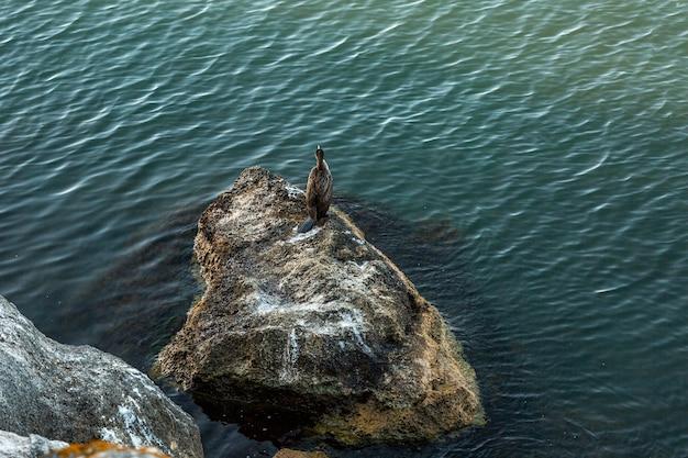Grande corvo-marinho phalacrocorax carbo, também conhecido como o grande corvo-marinho preto, fica em uma falésia à beira-mar. vista de cima