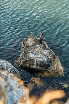 Grande corvo-marinho phalacrocorax carbo, também conhecido como o grande corvo-marinho-preto, senta-se em uma rocha à beira-mar