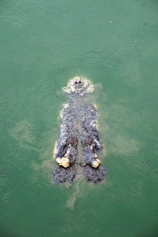 Grande crocodilo em fazenda lagoa