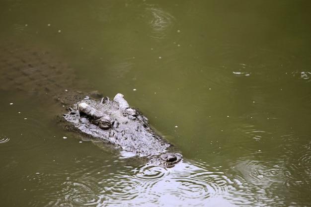 Grande crocodilo na fazenda
