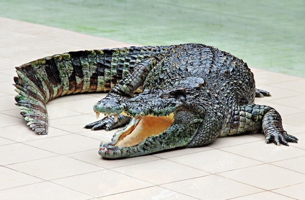 Grande crocodilo