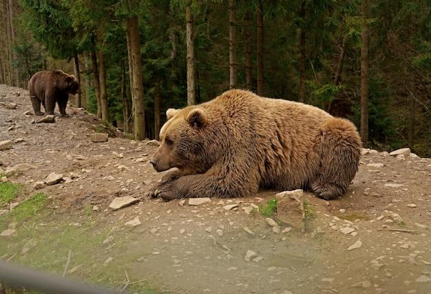 Grande e poderoso urso marrom dos cárpatos caminhando na floresta selvagem da transilvânia em ambiente natural, olhando para a câmera.