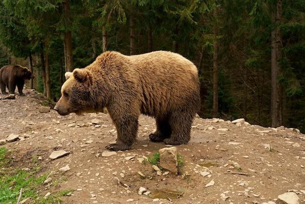 Grande e poderoso urso marrom dos cárpatos caminhando na floresta selvagem da transilvânia em ambiente natural