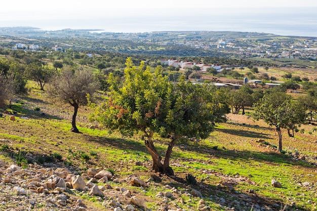Grande e velha velha oliveira no jardim de oliveiras no mediterrâneo.