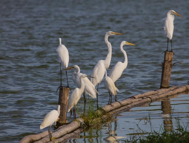 Grande, egret, em, natureza, (ardea, alba), cima, pássaro, em, natureza, tailandia
