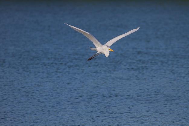 Grande, egret, em, natureza, (ardea, alba), voando, cima, pássaro, em, natureza, tailandia